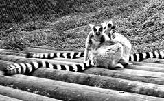 Black n white, Black n white (JayVeeAre (JvR)) Tags: ©2016johannesvanrooy bw blackandwhite johannesvanrooy johnvanrooy gimp28 lemur picasa3 httpwwwpanoramiocomuser1363680 httpwwwflickrcomphotosjayveeare johnvanrooygmailcom gimpuser gimpforphotography canonpowershotsx60hs hamilton newzealand 2016 hamiltron hamiltonzoo hamiltonzoopark hamiltonhilldalezoopark nature animal animals