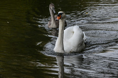 Following its mother (PChamaeleoMH) Tags: anatidae birds cygnets fauna oxford swans universityparks