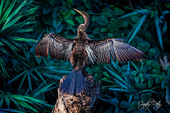 Basking (cd32919) Tags: anhinga bird avian basking wings feathers