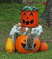 Let The Fun Begin....... (smiles7) Tags: fall pumpkins squirrel 3662016