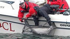 60626004 (QCL Shooter) Tags: qcl haidagwaii bcfishing salmon sportfishing queencharlottelodge fishingfirstclass adventure chinook halibut cr catchrelease