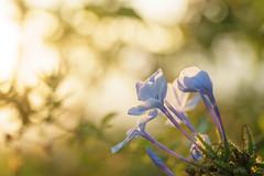 Backlit Plumbago (.remfer06) Tags: macro mondays backlit contrejour plumbago fleurs sun set coucher soleil macromondays flowers sony a7 90mm fe
