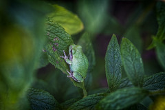 Green (ROPhoto77) Tags: bokeh bold colorful decorative frog gardens green leaves leaf macro maine outdoor plants texture