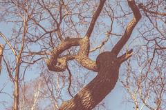 Twisted (Jori Samonen) Tags: tree trunk sky seurasaari island helsinki finland nikon d3200 180550 mm f3556