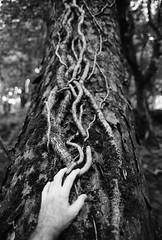 (a.pierre4840) Tags: olympus om4ti zuiko 50mm f14 ilford ilfordhp5 hp5 bw blackandwhite monochrome noiretblanc wood woodland dof depthoffield hand bokeh perspective