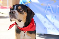 dudleywalker-5995 (angelsrescue2015) Tags: aau foster adopt atlanta dog rescue alpharetta ga