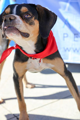 dudleywalker-5971 (angelsrescue) Tags: aau pets angels among us pet rescue alpharetta ga dog love