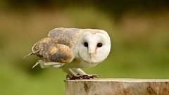 Barn Owl (J @BRX) Tags: barnowl owl falconry muncastercastle cumbria england uk september2016 summer display birdsofprey