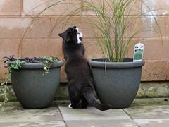 Good grass!!! (vanstaffs) Tags: tussi tuzz tuxedogirl tuxedocat t tux tusse tutu tuzz myprettytuxedogirl cutecatkittykitten