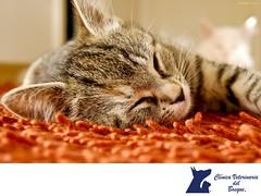 El sueno de los gatos. CLINICA VETERINARIA DEL BOSQUE 2 (tipsparamascotas) Tags: veterinariadelbosqueveterinariacuidadodemascotasmascotassaludablesesteticacaninaclinicaveterinariadelbosqueespecialistasencuidadodemascotaswwwveterinariadelbosquecomveterinariadelbosque veterinaria cuidadodemascotas mascotas mascotassaludables estticacanina delbosque