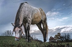 A friendly, nice white horse .. (tferi666) Tags: horse beautiful nice best animals ngc sony ilce next alpha a6300 epz18105mm 18105mm sonyflickraward sonyflickrawardgold fantastic hungary magyar zenplnhegysg lovak fehrl gynyr amazing