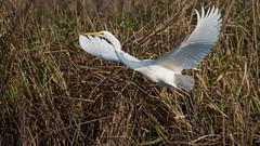 Silberreiher 011 (bertheeb) Tags: silberreiher reiher wasservogel