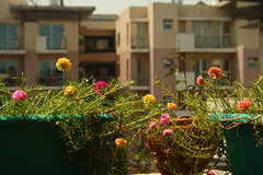 Moss Rose flowers, in my balcony garden, at Delhi (ilovethirdplanet) Tags: garden flower pink yellow urban delhi india ind