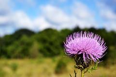 Thistle, Pokagon State Park (svandagr) Tags: flowers floral wildflowers nature flora park trail hike pokagonstatepark indiana outdoor summer indianastateparks statepark flower