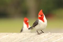 Red-crested Cardinal (Paroaria coronata) (s_uddin59) Tags: redcrestedcardinal paroariacoronata kualoa kualoaregionalpark kaneohe oahu hawaii songbird