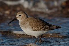 Dunlin (mghornak) Tags: dunlin bird shorebird sandpiper wildlife nature canon canoneos7dmarkii hammonassetbeachstatepark