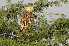 Eastern Imperial Eagle - Aquila heliaca (Roger Wasley) Tags: eastern imperial eagle aquila celiaca eagles bird prey velavadar national park gujarat india indian