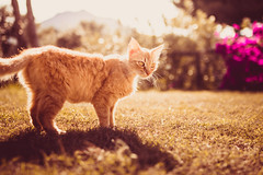 The Greatest Hour (thethomsn) Tags: greatest hour goldenhour cat red grass meadow summer light backlight cute outdoors wild animal pet fur cats focus bokeh dof sigma30mm14 thethomsn sardinia magic moment bright