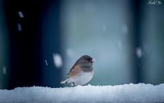 Snowing  (T.ye) Tags: dark eyed junco bird snowing snow speed little animal wildlife