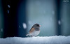 Snowing 下雪 (T.ye) Tags: dark eyed junco bird snowing snow speed little animal wildlife