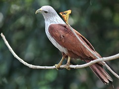 Brahminy Kite (SivamDesign) Tags: canon eos 550d rebel t2i kiss x4 300mm tele canonef300mmf4lisusm bird fauna redbacked seaeagle brahminy kite redbackedseaeagle brahminykite haliasturindus