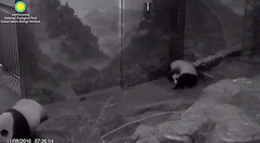 Bei's doing somersaults this morning.  ../af946.png (heights.18145) Tags: smithsoniansnationalzoo beibei meixiang corner panda bear pandabear cuteanimals bearcubs motheranimals ccncby
