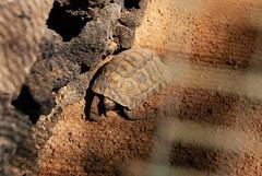 DSC_0133 (RD1630) Tags: fuerteventura oasis park reptile animal tier reptilie schlange snake summer outside outdoor sunny nature natur tortoise schildkrte