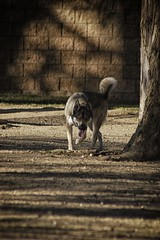 DSC_0027 (Harlum) Tags: boxer germanshepherd lab dogpark wolfhybrid husky malamute nikon nikond100 nikond5100 dogs