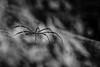 Golden silk orb-weaver (38frames) Tags: web goldenorbweaverspider singapore spidersilk goldenorb spider places singaporezoo sg blackandwhite monochrome animal