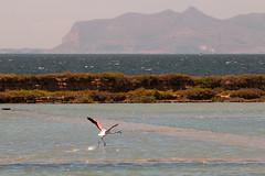 Run baby run (luigig75) Tags: marsala stagnone saline fenicotteri flamingos pink summer sicilia sicily italia italy favignana 70d 70200f4l canonef70200mmf4lusm wild life