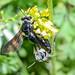 Wildbiene bee 160518 1533.jpg