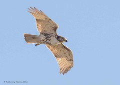 Red-tailed Hawk (Explored November 17 2016) (rosemaryharrisnaturephotography) Tags: redtailedhawk hawk migration hawkwatch toronto ontario sky blue rosemaryharris nature raptor wildlife redtailed bird flight canon birdofprey allbirdsofprey coth hawkinflight sunrays5 ngc coth5