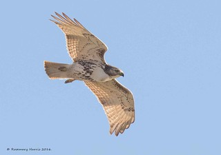 Red-tailed Hawk (Explored November 17 2016)