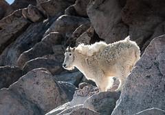 Mountain Goat (PhotoBobil) Tags: colorado mtevans mountaingoat