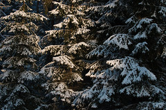 Pattern (Karl Adami - www.adamifoto.com) Tags: snowy wintery european eurasian northern nordic estonian forest woodland woods daylight pattern spruce trees shadows abstract