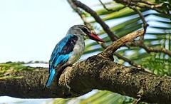 Woodland Kingfisher. Halcyon senegalensis (jaytee27) Tags: gambia woodlandkingfisher halcyonsenegalensis bijiloforestpark naturethroughthelens specanimal