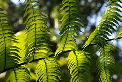 Fougre (Claudia Sc.) Tags: brsil brasil brazil saopaulo jardin botanique vgtal v