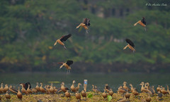 Joining The Party!!! (Anirban Sinha 80) Tags: nikon d7000 500mm ed vr ii n ducks bokeh wings