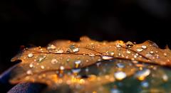 Wassertropfen (S.T.A.R.S) Tags: wasser tropfen nass laub blätter muster struktur perlen klar kalt sauber tau nebel sonne strahlen