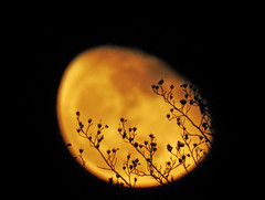 Yellow Moon Through Fall Tree Branches; Long Island, New York (hogophotoNY) Tags: moon yellow night nite long island longisland longislandny longislandnewyork newyorkstate