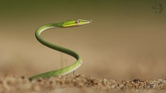 Video Link [ 4K ] : https://youtu.be/fHq9RS8Sp08 ID : Green Vine Snake (sapwildlifephotography) Tags: greenvinesnake snake wildlifephotography animals sarulprasanth