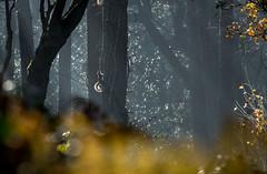 Squirrel. (Graham H Lock) Tags: haze rays sun tree forest wildlife bokeh