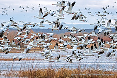 Dawn at Bosque del Apache (Gary Grossman) Tags: bosquedelapache snowgeese geese garygrossmanphotography wildlife wildlifephotography nationalwildliferefuge nature birdsinflight birds southwest lake cloudy blastoff
