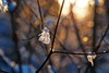 The warm light & the ice crystal (ej - photographie) Tags: sunlight sonnenlicht winter wintertime nature natur eiskristall ice olympus omd em5markii mzuiko macro makro januar january schweiz switzerland cold kalt abend suisse svizzera bokeh schärfentiefe frozen outdoor draussen warm light licht crystal naturwunder 2017