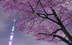 東京スカイツリー桜特別ライティング2014 Tokyo Skytree in The Special Lighting (ELCAN KE-7A) Tags: japan cherry tokyo pentax blossom illumination 桜 日本 東京 sumida 2014 舞 イルミネーション ライトアップ ペンタックス 隅田公園 skytree 大寒桜 スカイツリー k5ⅱs