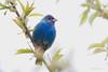 _53F9610 Indigo Bunting (~ Michaela Sagatova ~) Tags: blue ontario dundas songbird indigobunting passerinacyanea birdphotography dvca michaelasagatova