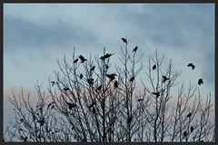 Blackbirds gather in tree for evening song (Zelda Wynn) Tags: autumn sunset tree nature weather auckland blackbirds newlynn zeldawynnphotography