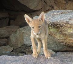 Bigfoot (jwrieden) Tags: coyote arizona nature pups desert wildlife canine dailynaturetnc14