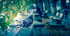 Pigeon fancier #2 (DobingDesign) Tags: london westminster thames riverside pigeon seagull riverthames thameside riverwall