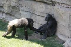 chimp (Olaya Garcia) Tags: africa espaa valencia canon eos spain pan troglodytes madagascar chimpance pantroglodytes chimpa bioparc 1000d